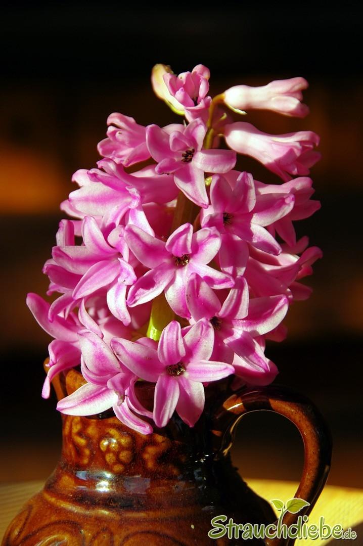 Hyazinthe (Hyazinthus)