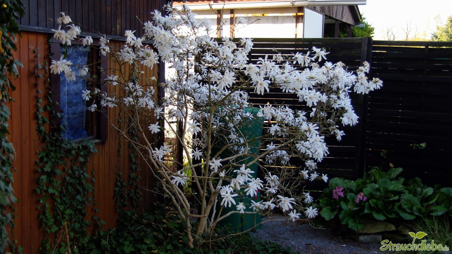 Stern-Magnolie (Magnolia stellata)