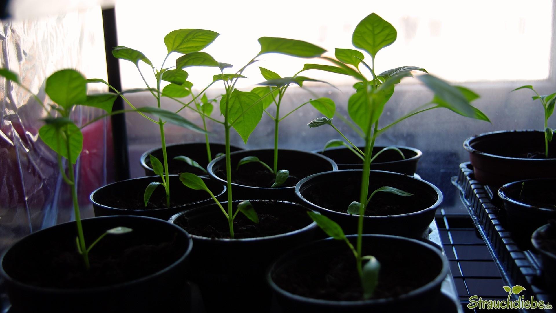 Paprika (Capsicum)