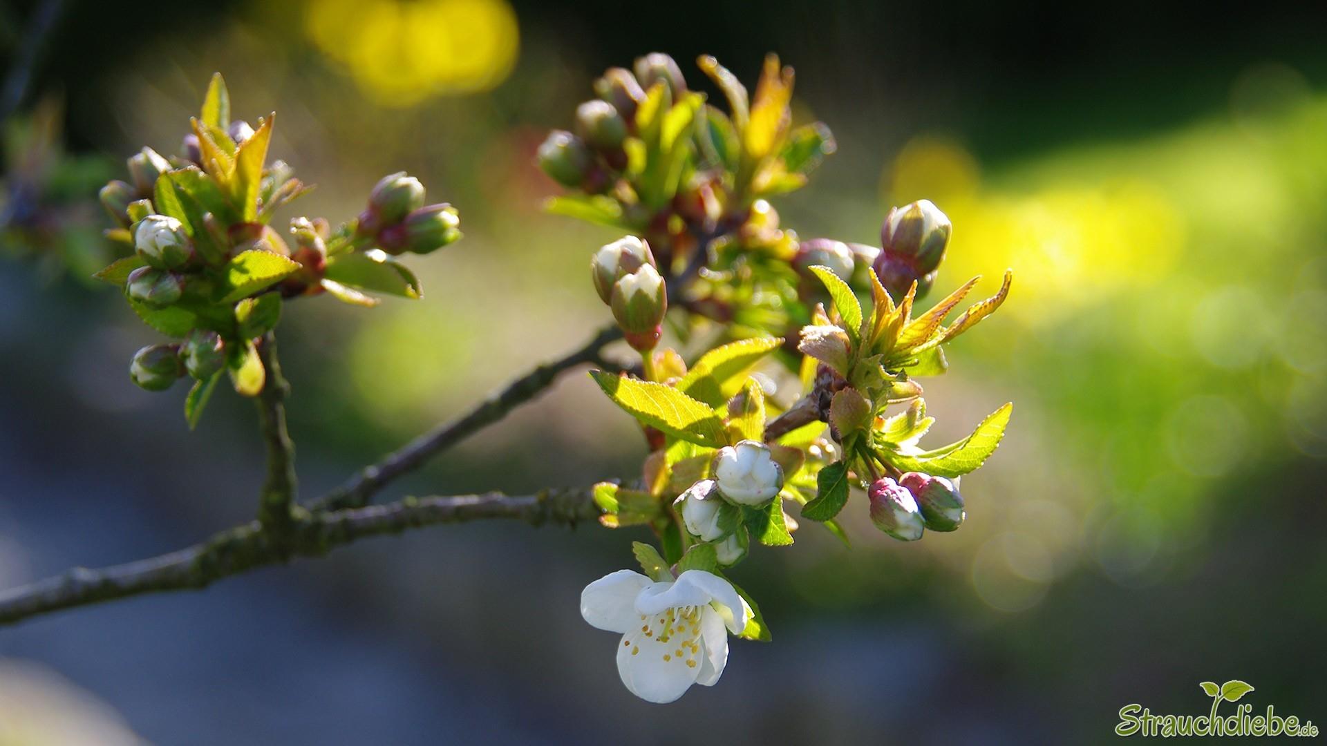 Sauerkirsche (Prunus cerasus)
