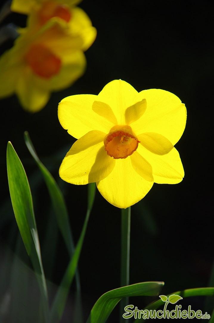 Narisse (Narcissus)
