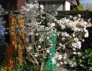 Stern - Magnolie (Magnolia stellata)