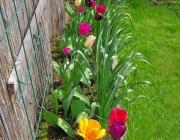Tulpen (Tulipa) und Narzissen (Narcissus)