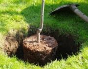 Pflaumenbaum pflanzen