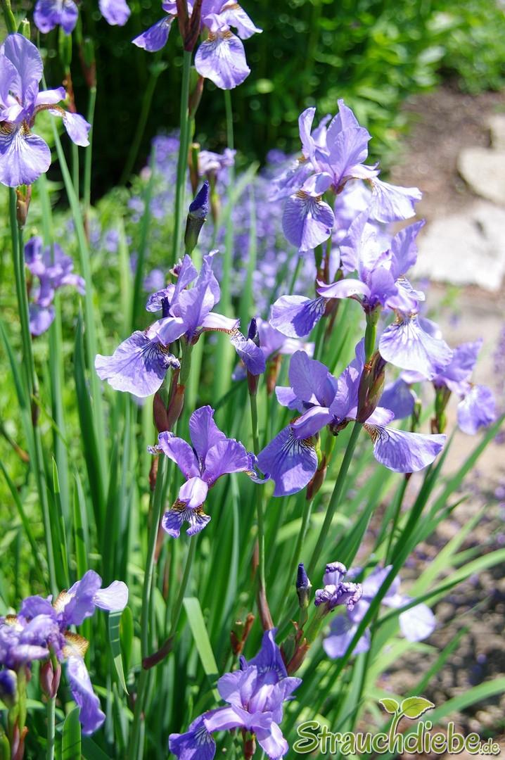 Schwertlilie (Iris)