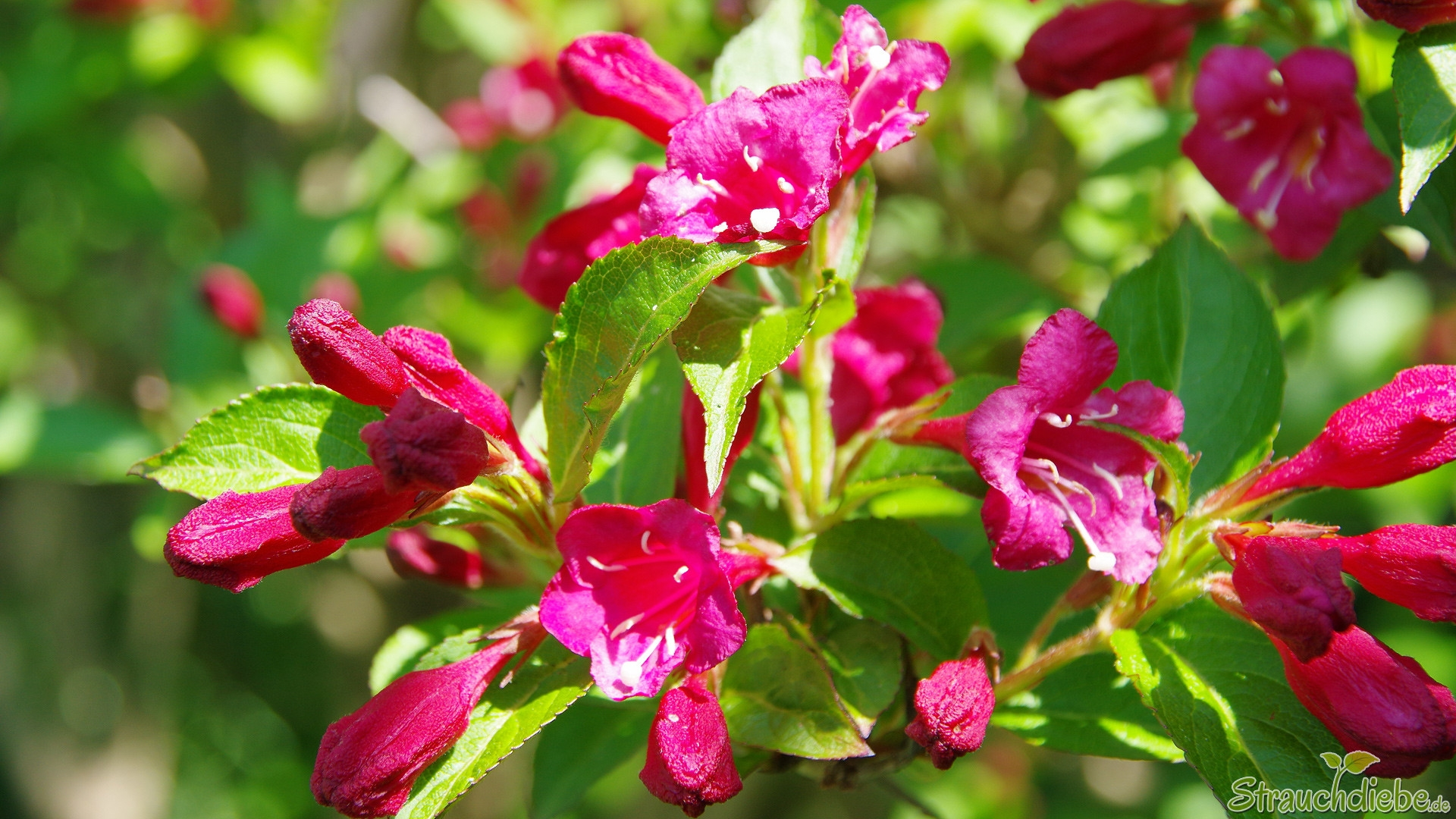 Weigelie (Weigela 'Bristol Ruby')