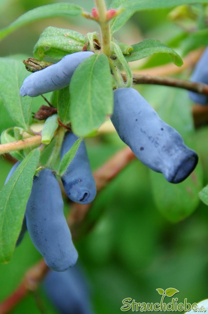 Kamtschatka-Heckenkirsche (Lonicera caerulea var. kamtschatica)