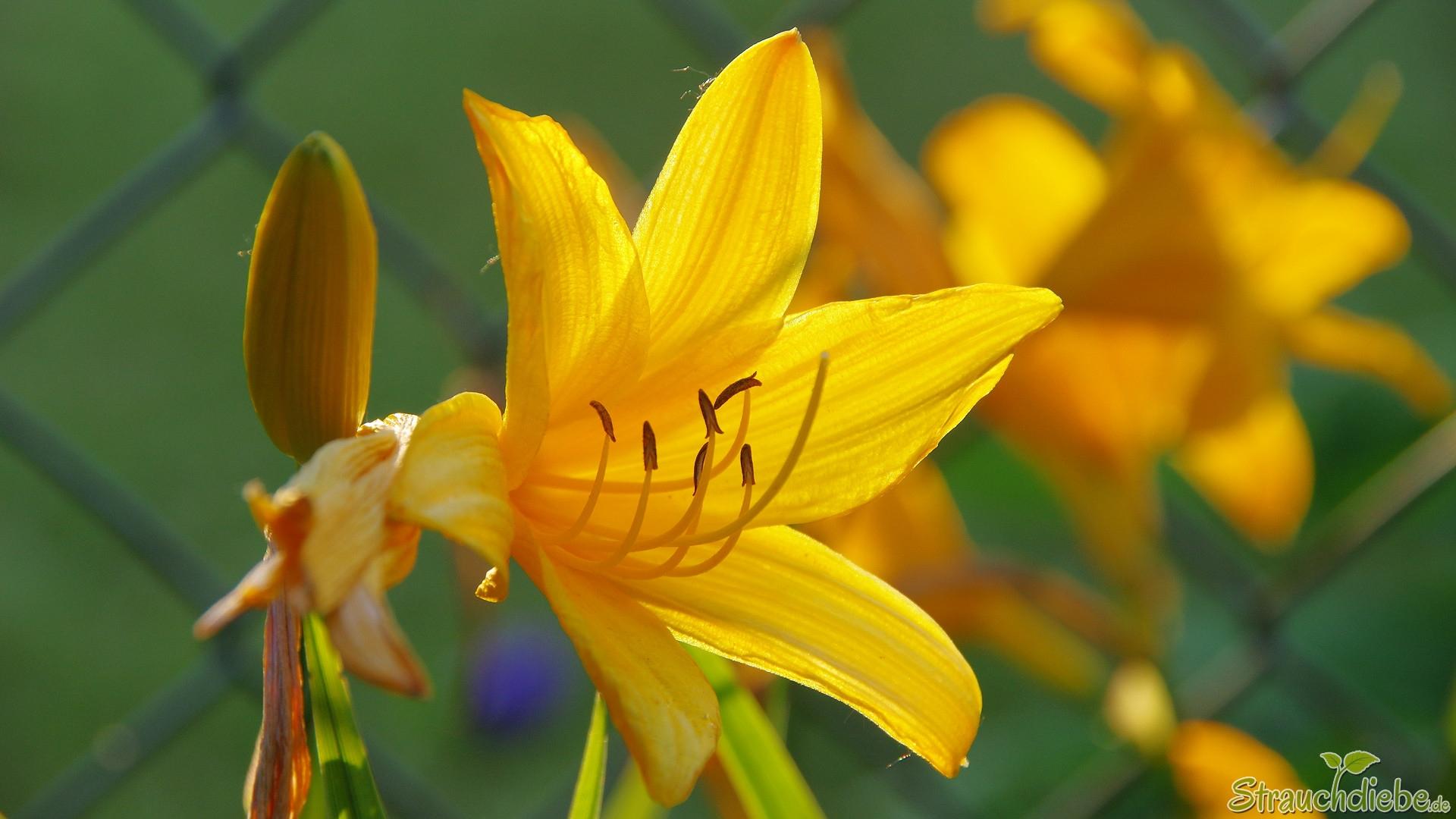 Gelbe Taglilie (Hemerocallis lilioasphodelus)