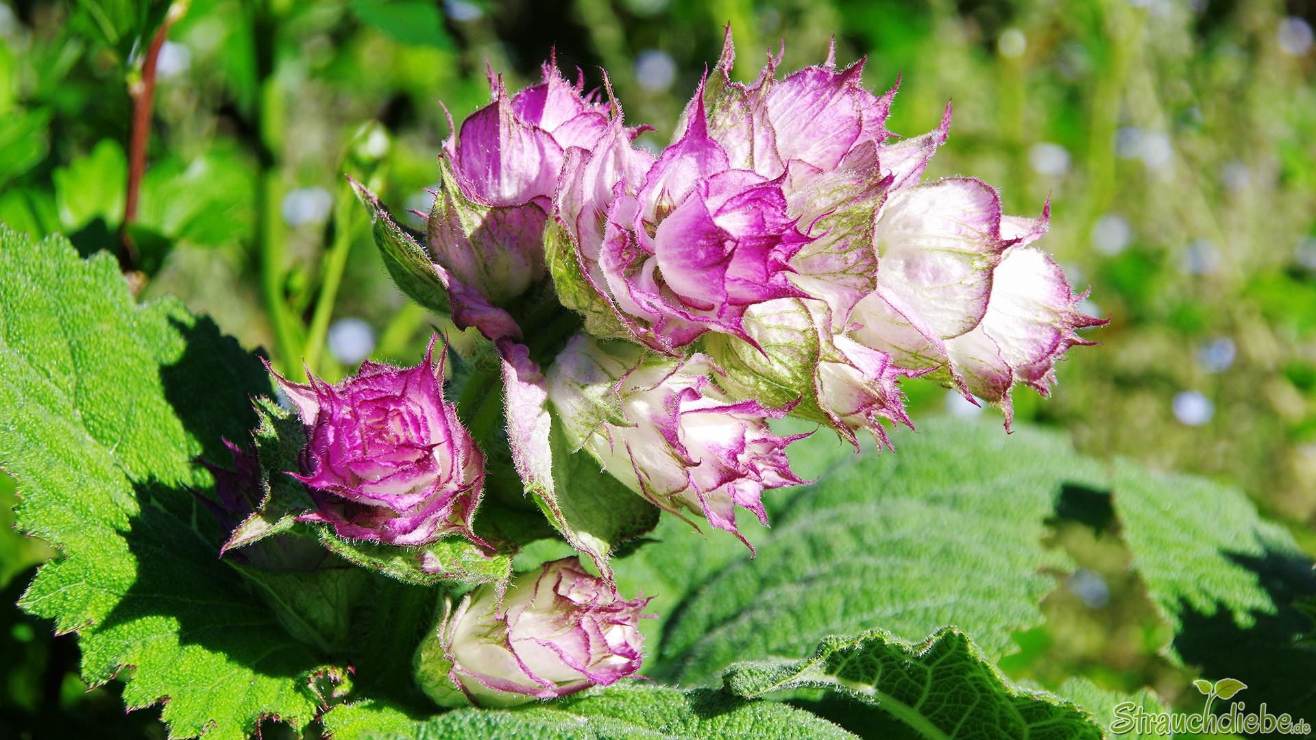 Muskatellersalbei (Salvia sclarea)