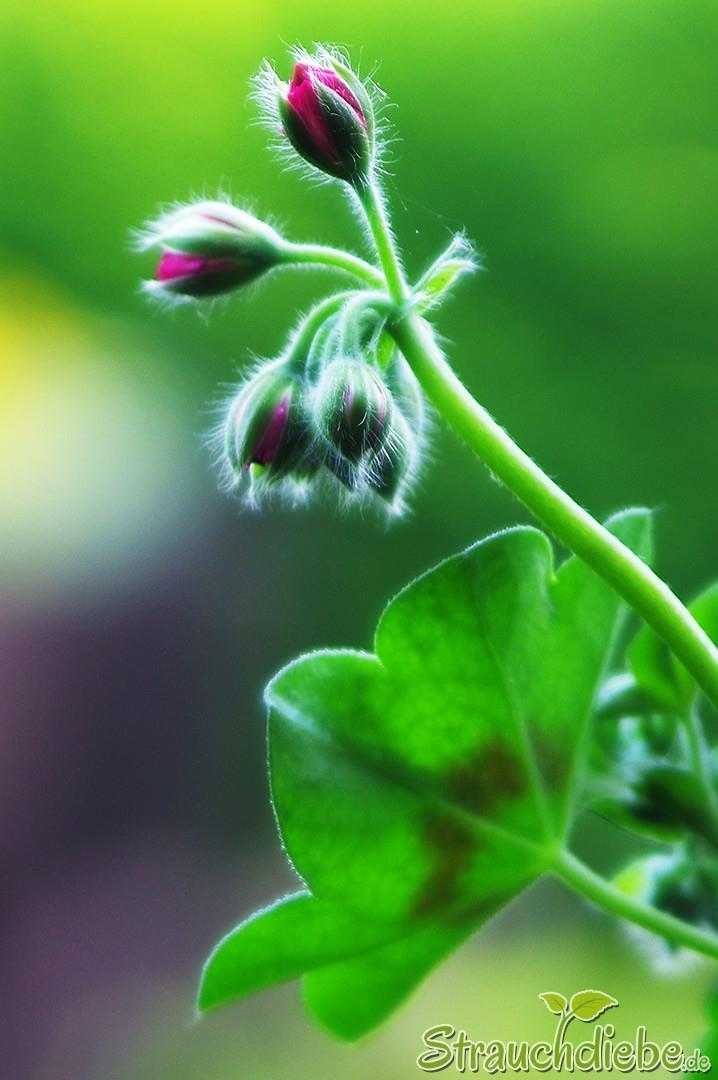 Pelargonie (Pelargonium peltatum)