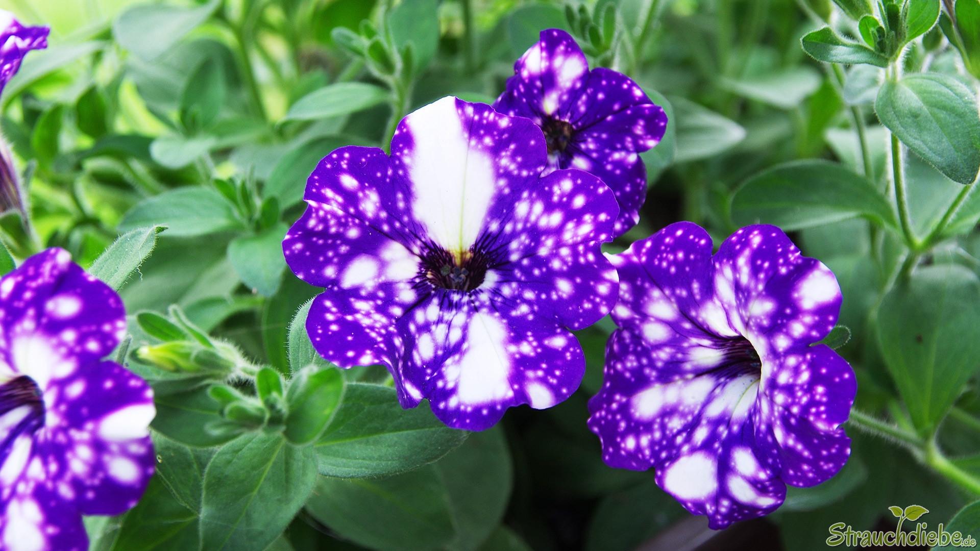 Hänge-Petunie (Petunia 'NightSky')