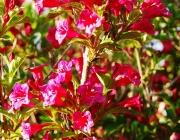Weigelie (Weigela 'Bristol Ruby')