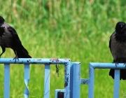 Aaskrähen (Corvus corone)