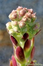 Hauswurz (Sempervivum)