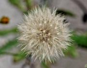 Gewöhnliche Ferkelkraut (Hypochaeris radicata)