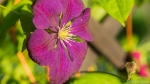 Waldrebe (Clematis)