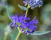 Cladon-Bartblume (Caryopteris ×clandonensis 'Heavenly Blue')