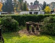 Lebensbaum-Fällung