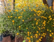 BeeDance 'Painted Yellow' (Bidens)