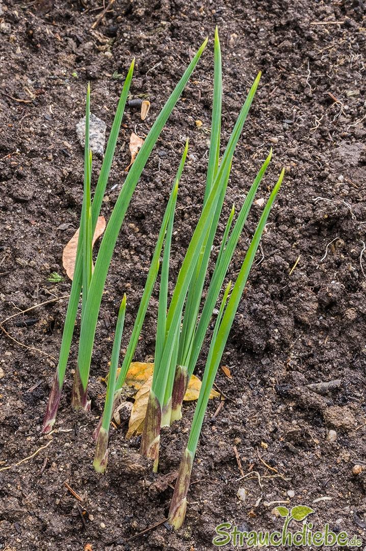 Zierlauch (Allium)