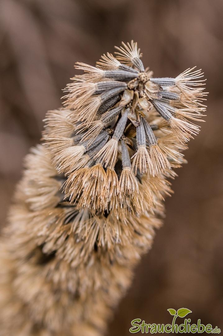Prachtscharte (Liatris spicata)