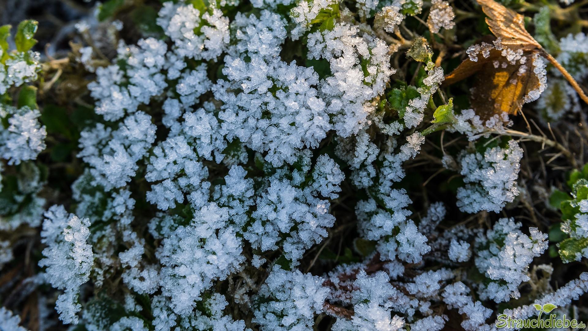 "Raureif-""Blüten"""