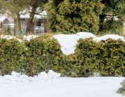 Lebensbaum-Hecke