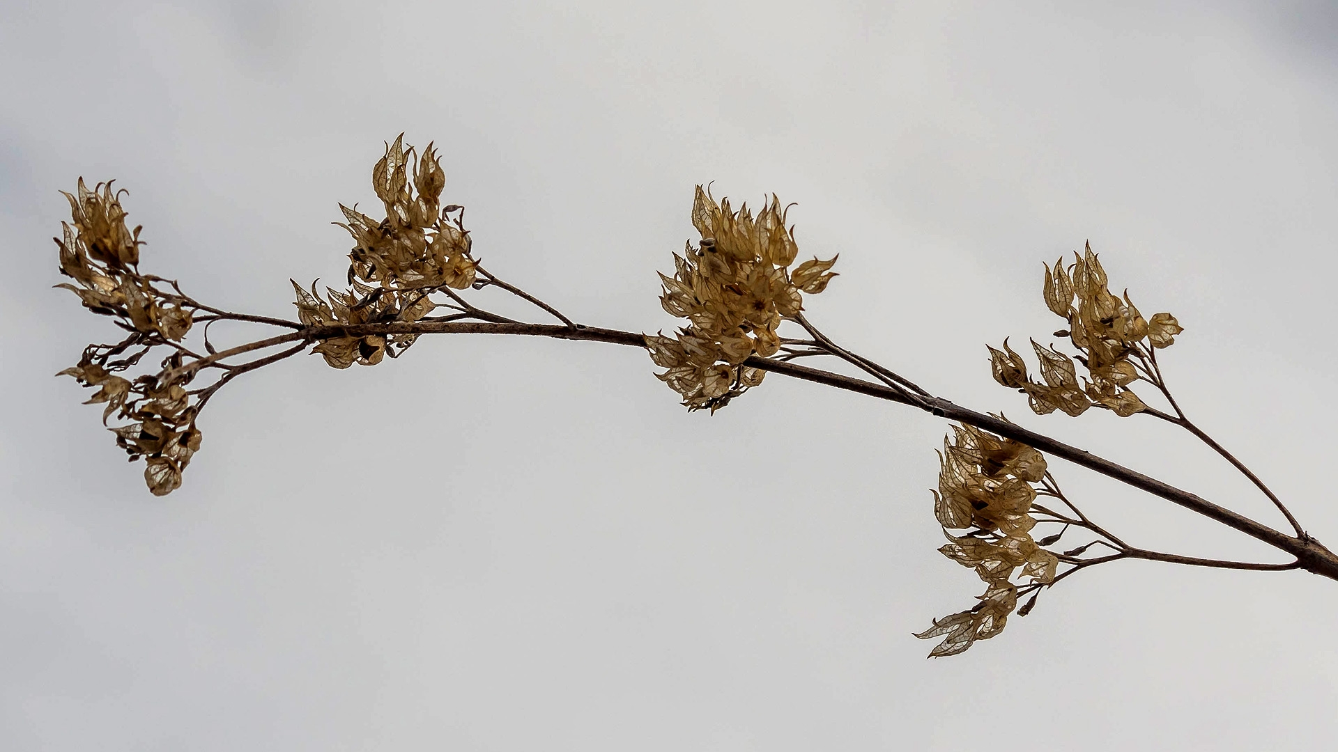 Clandon-Bartblume (Caryopteris clandonensis 'Heavenly Blue')