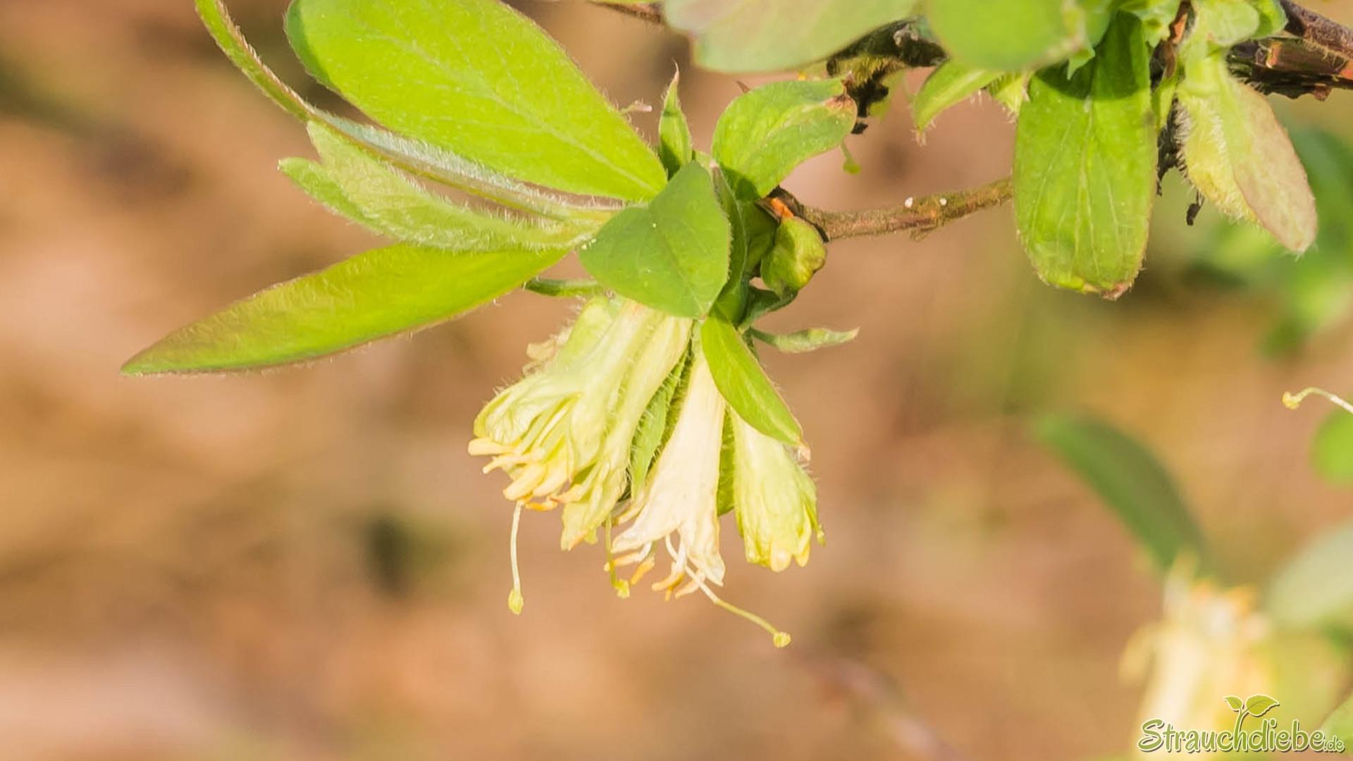 Kamtschatka-Heckenkirsche (Lonicera caerulea)