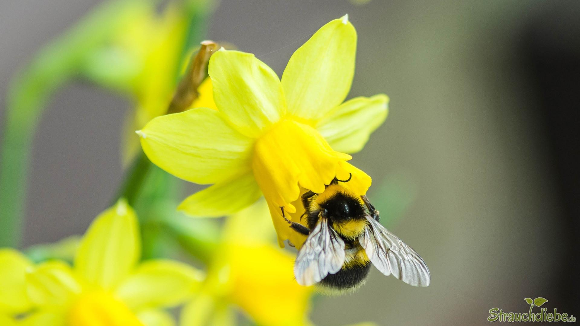 Gartenhummel (Bombus hortorum)