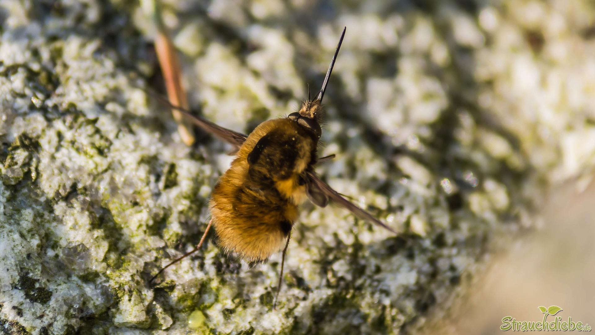 Großer Wollschweber (Bombylius major)