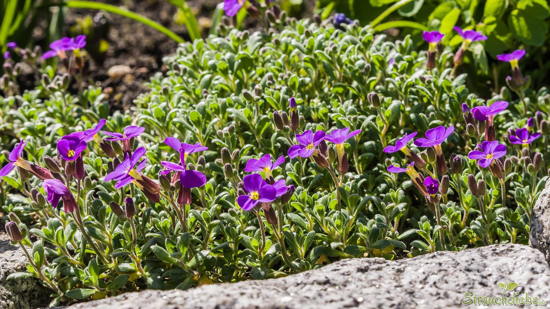 Violettes Blaukissen (Aubrieta)