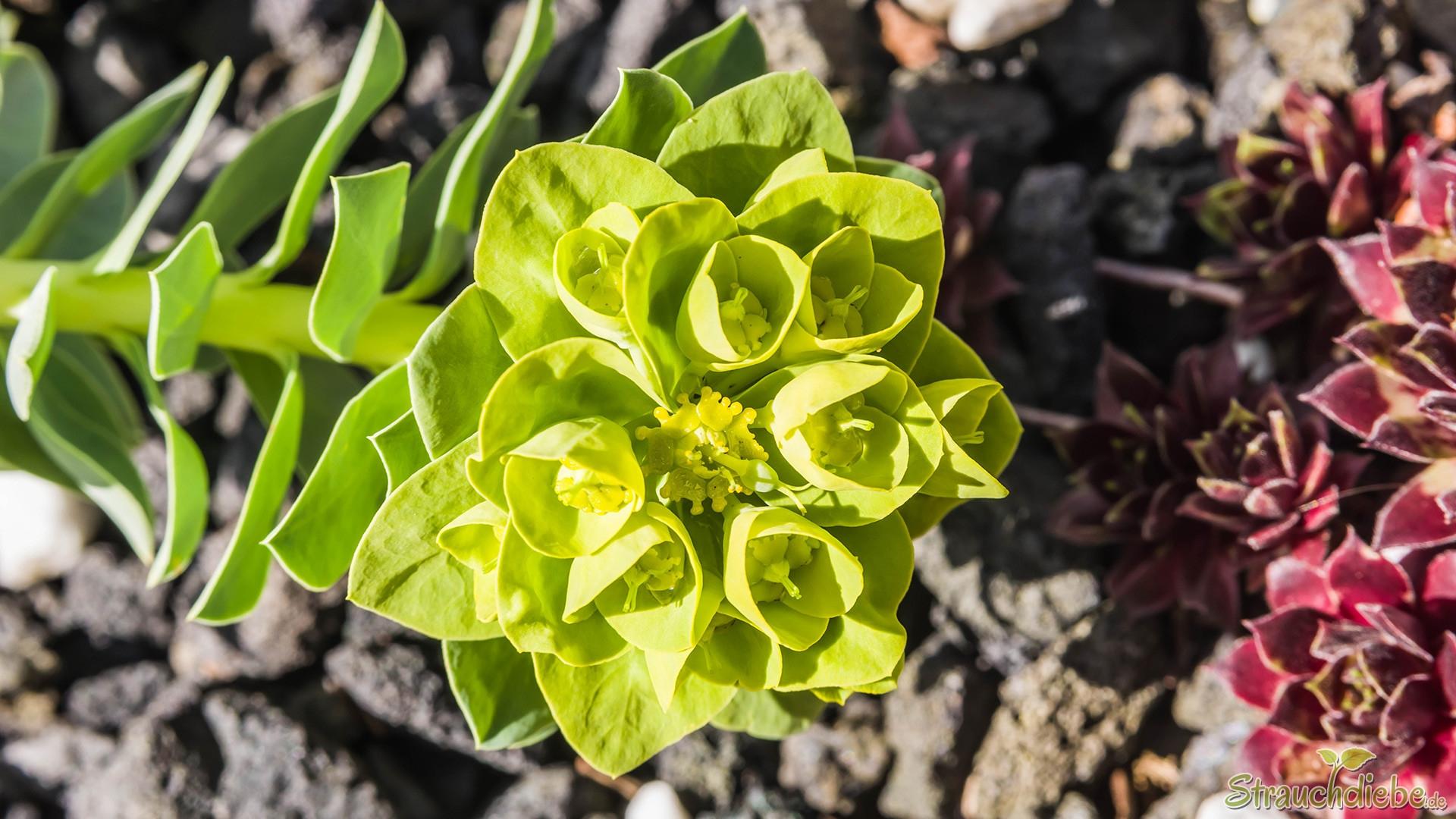 Walzen-Wolfsmilch (Euphorbia myrsinites)
