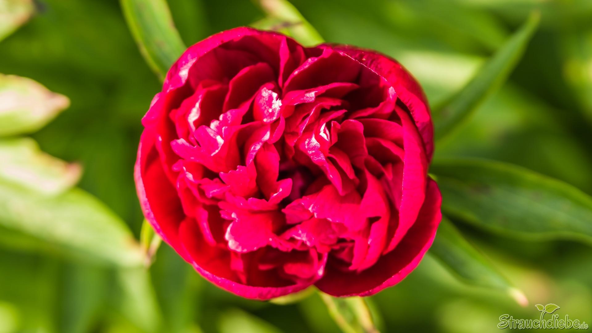 Pfingsrose (Paeonia)