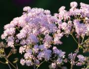 Akeleiblättrige Wiesenraute (Thalictrum aquilegiifolium),