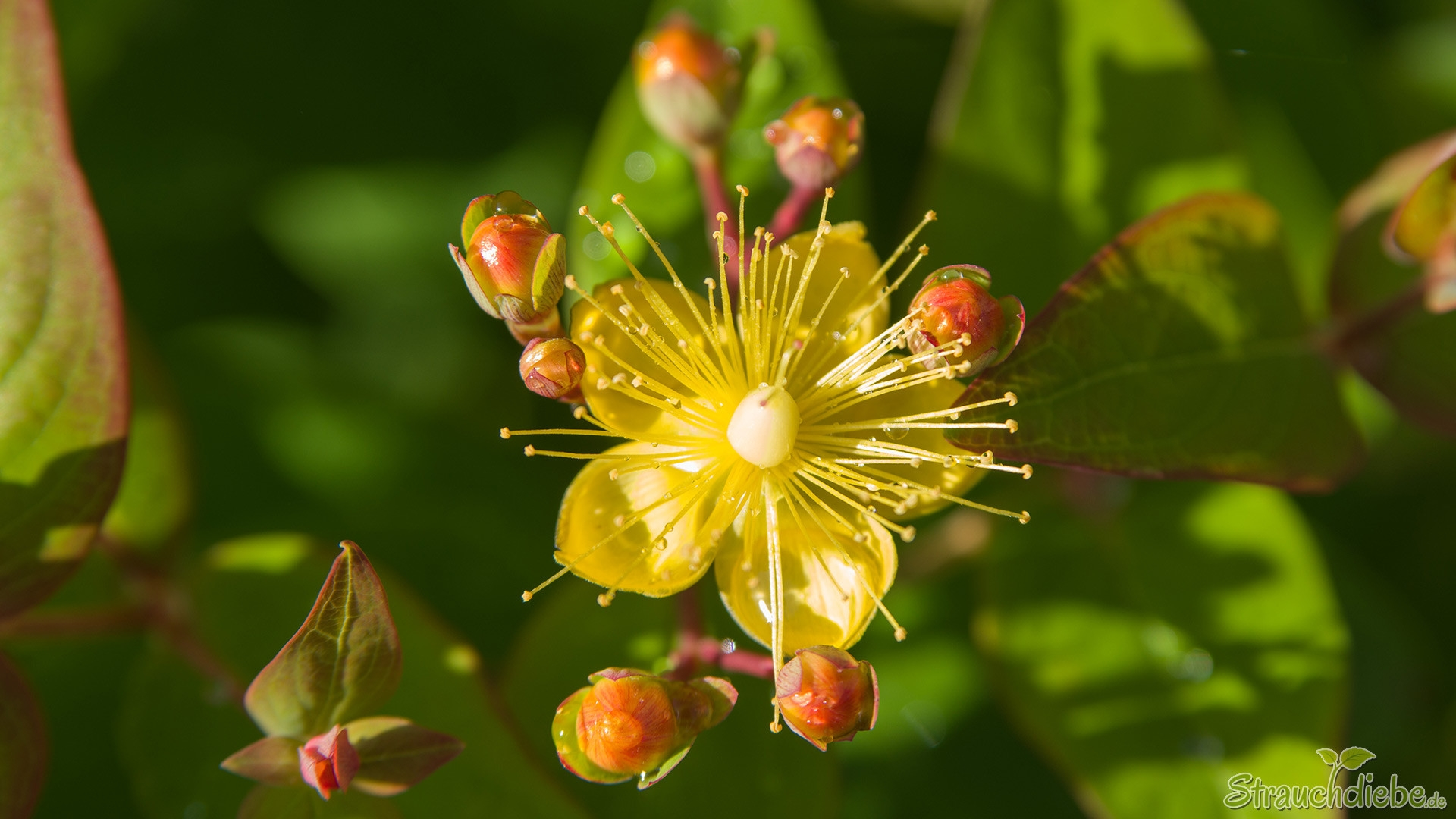 Johanniskraut (Hypericum inodorum 'Magical Red Fame')