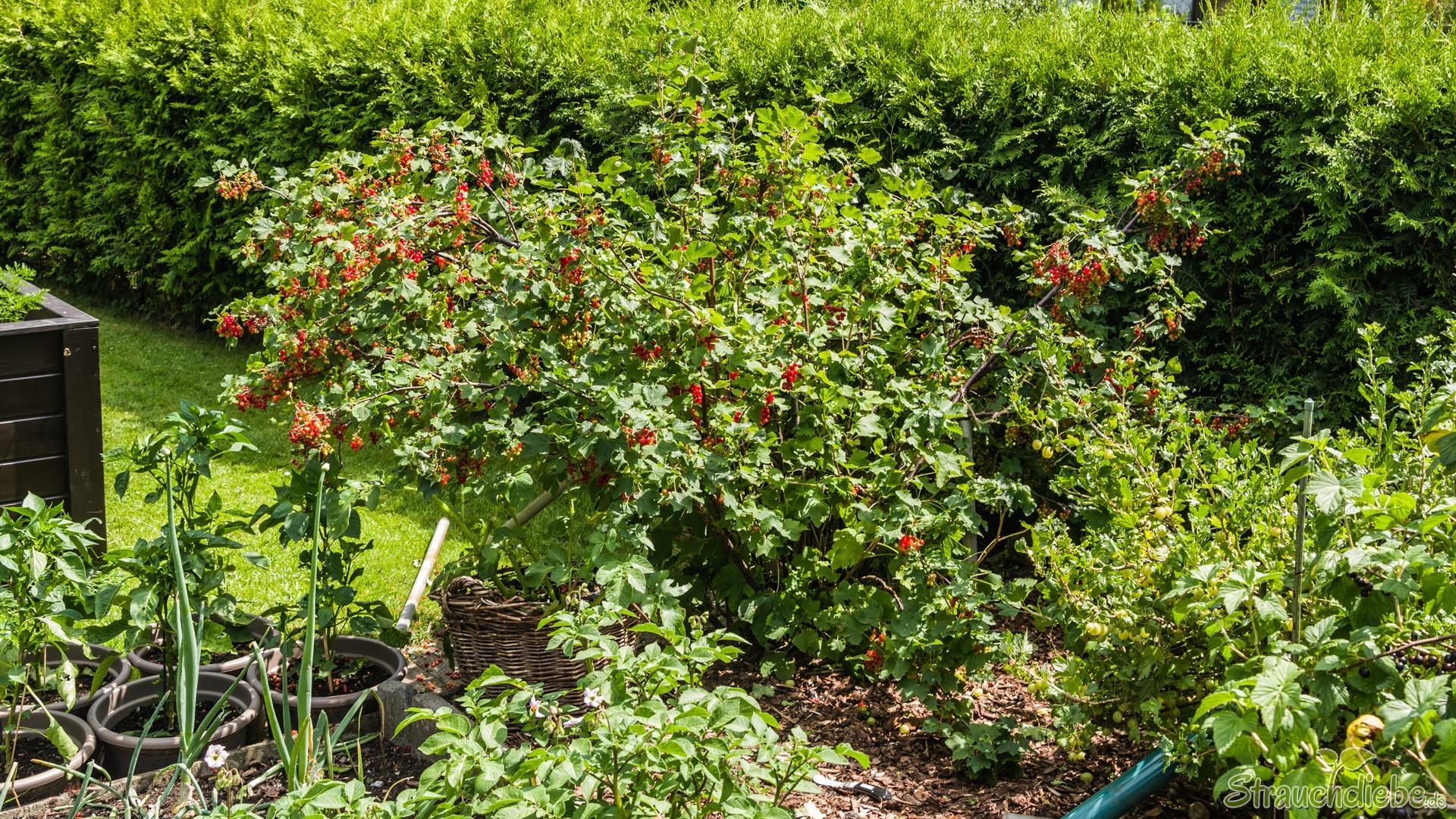 Rote Johannisbeeren
