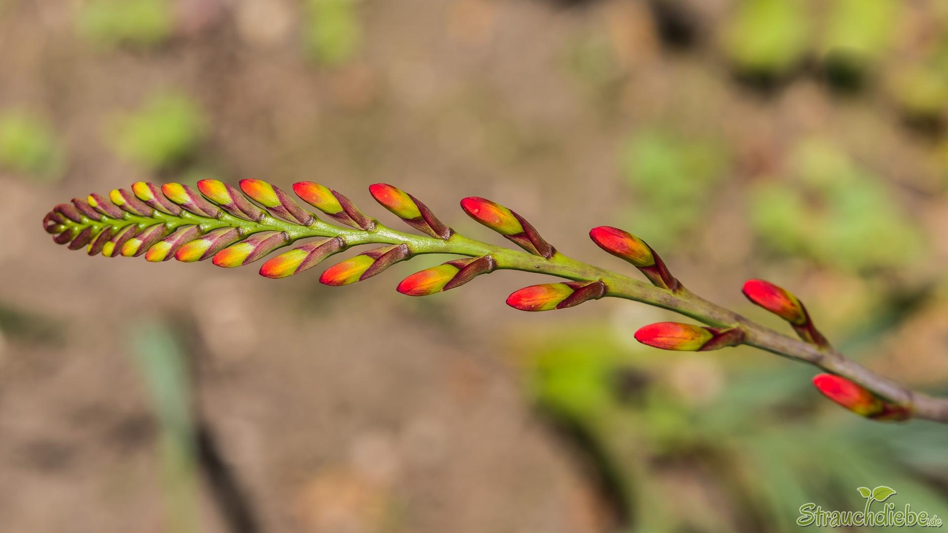 Garten-Montbretie (Crocosmia × crocosmiiflora)