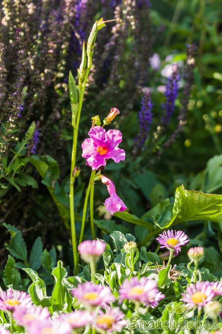 Garten-Gloxinie (Incarvillea delavayi)