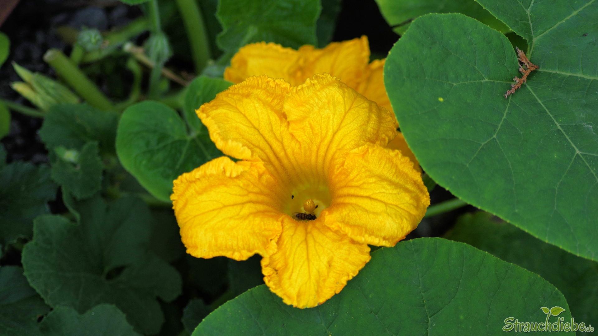 Hokkaido-Kürbis (Blüte)