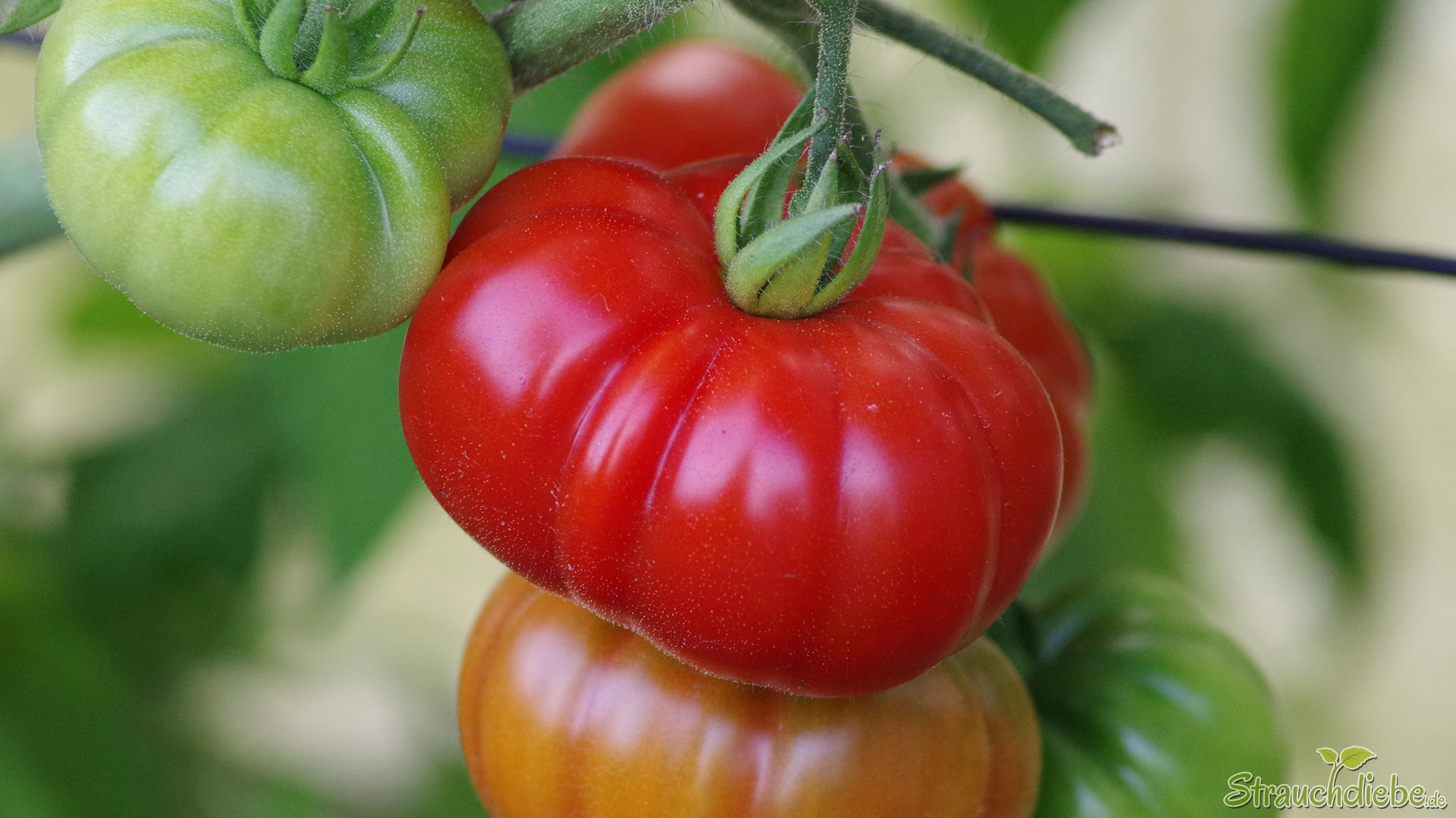 Tomate (Costoluto Genovese)