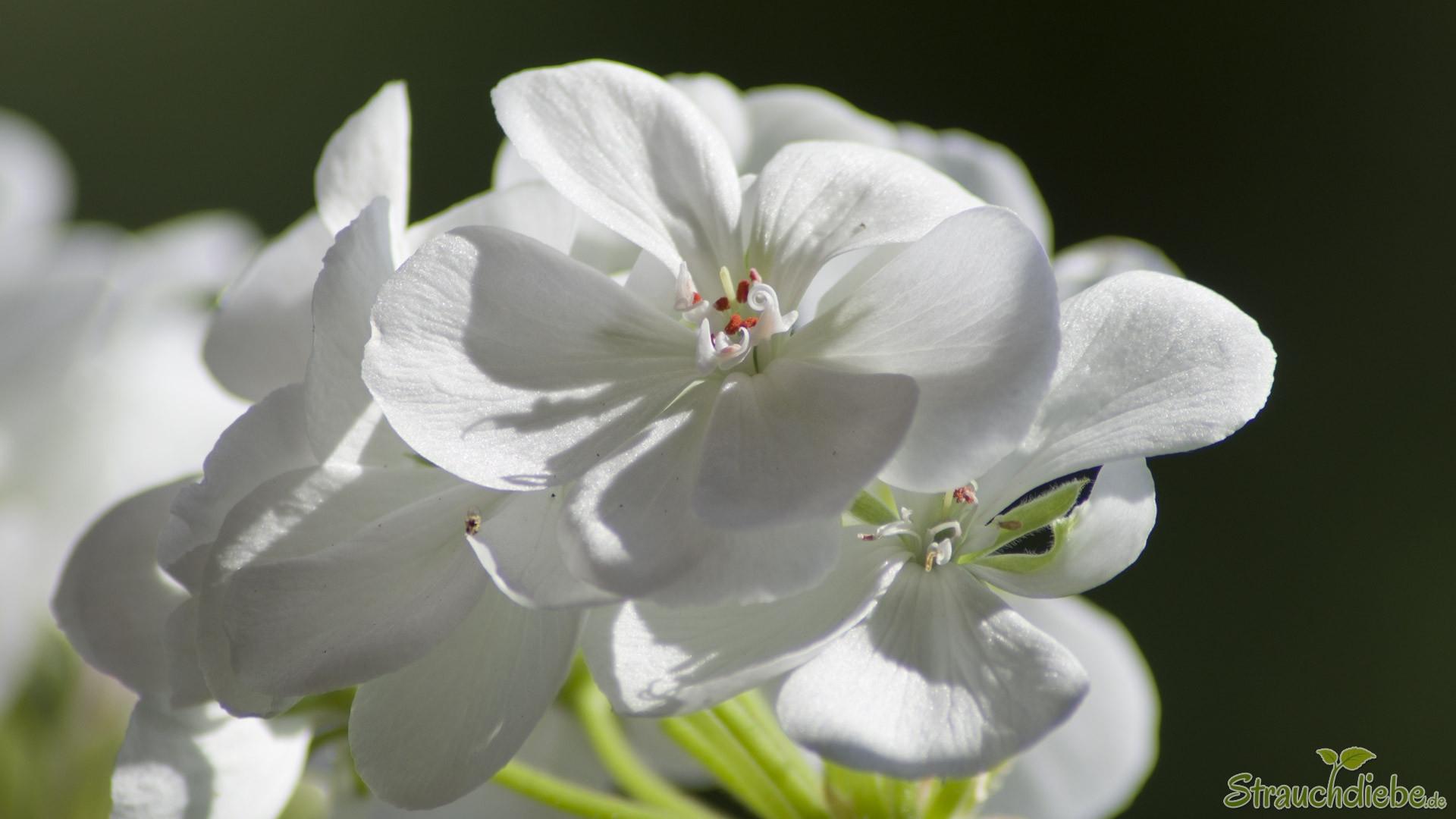 Pelargonien (Pelargonium)
