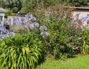Schmucklilien (Agapanthus)