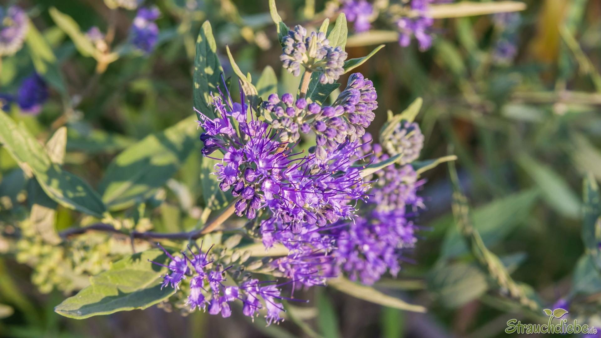 Clandon-Bartblume (Caryopteris x clandonensis)