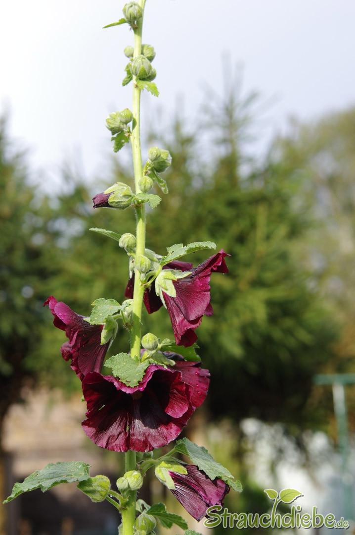 Stockrose (Alcea rosea \'Nigra\')