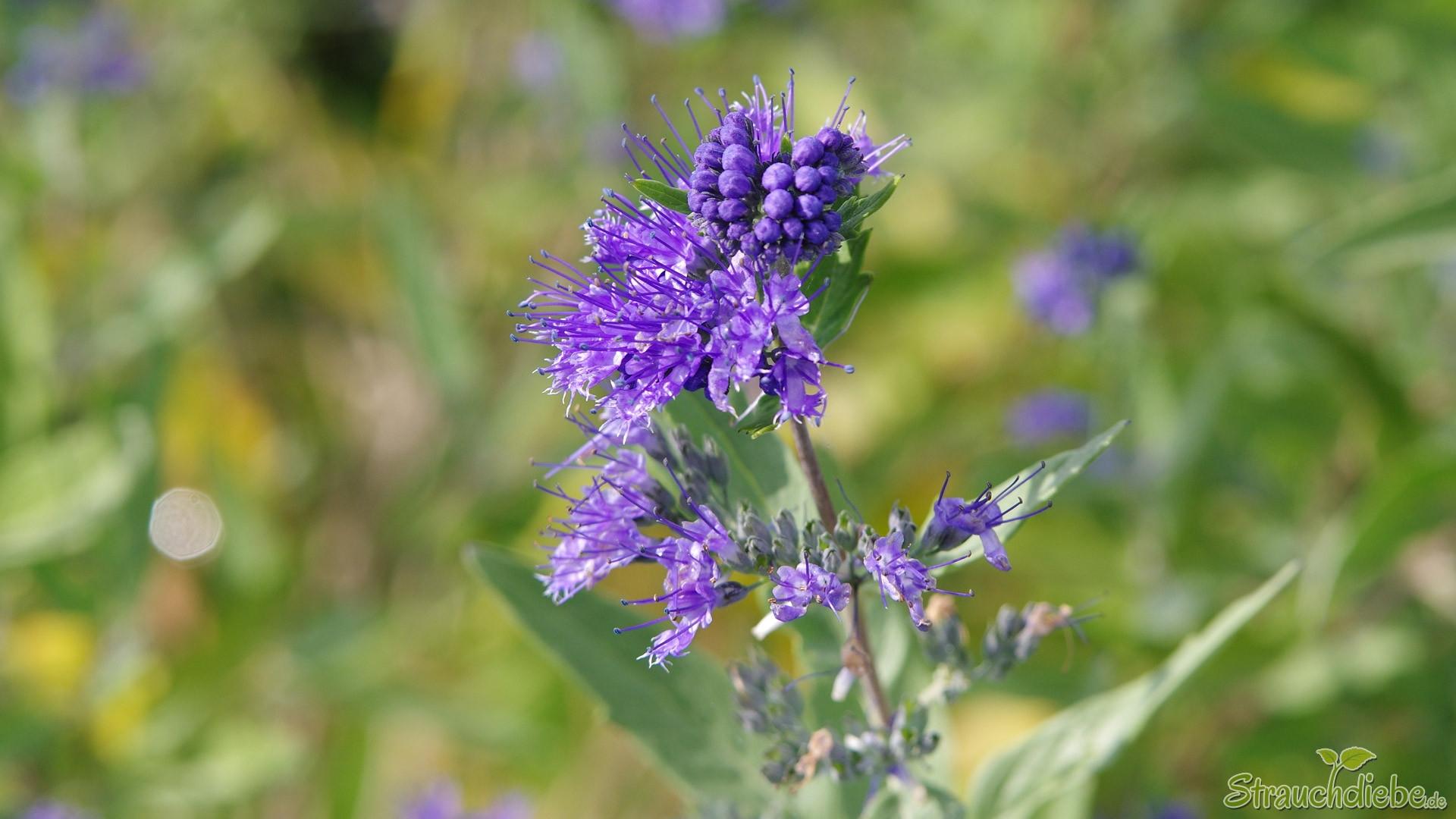 Cladon-Bartblume (Caryopteris ×clandonensis \'Heavenly Blue\')