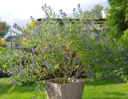 Cladon-Bartblume (Caryopteris ×clandonensis \'Heavenly Blue\')