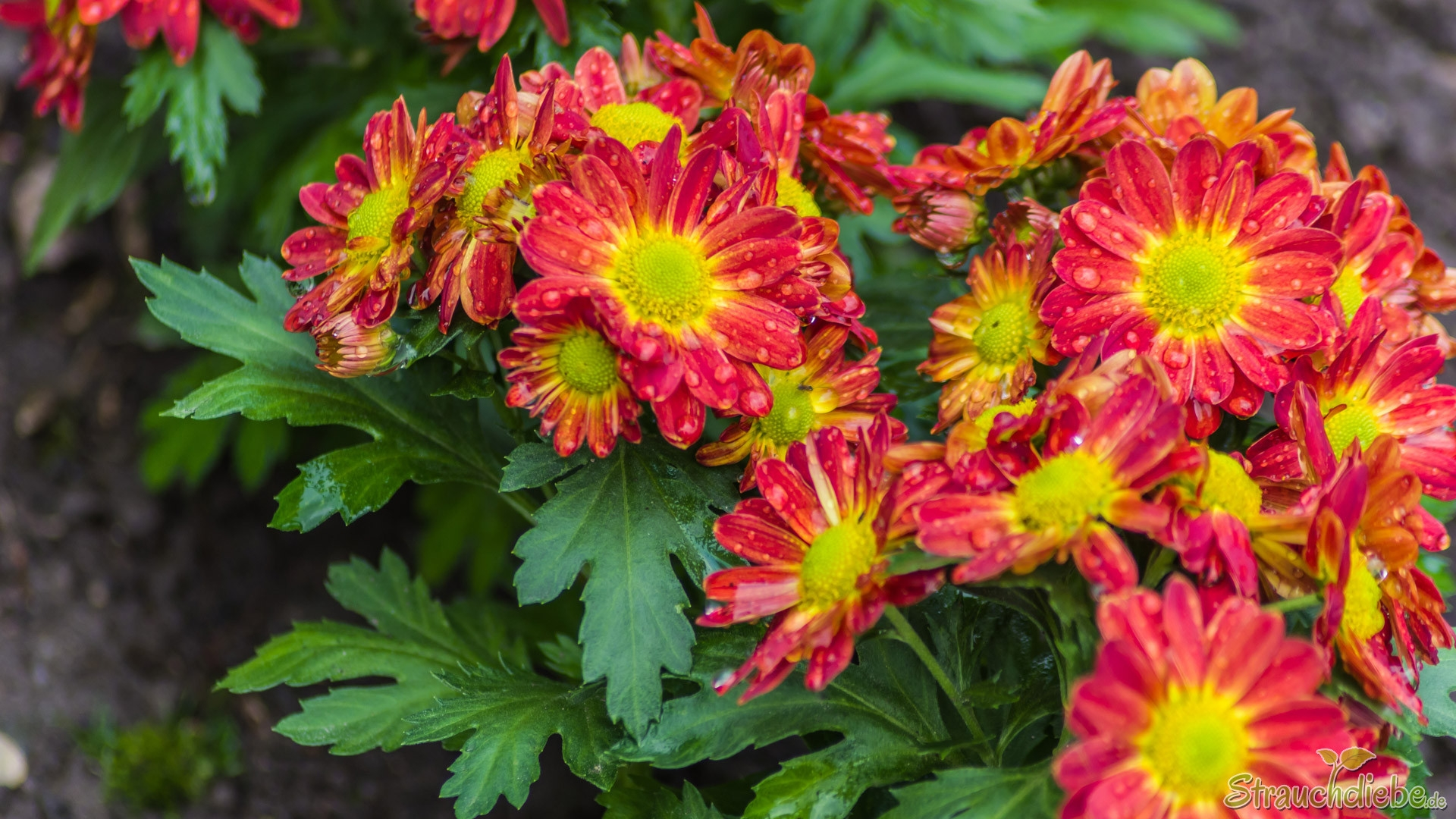 Garten-Chrysantheme (Chrysanthemum x hortorum)