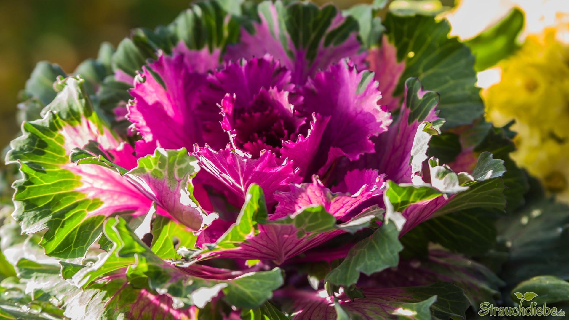 Zierkohl (Brassica oleracea)