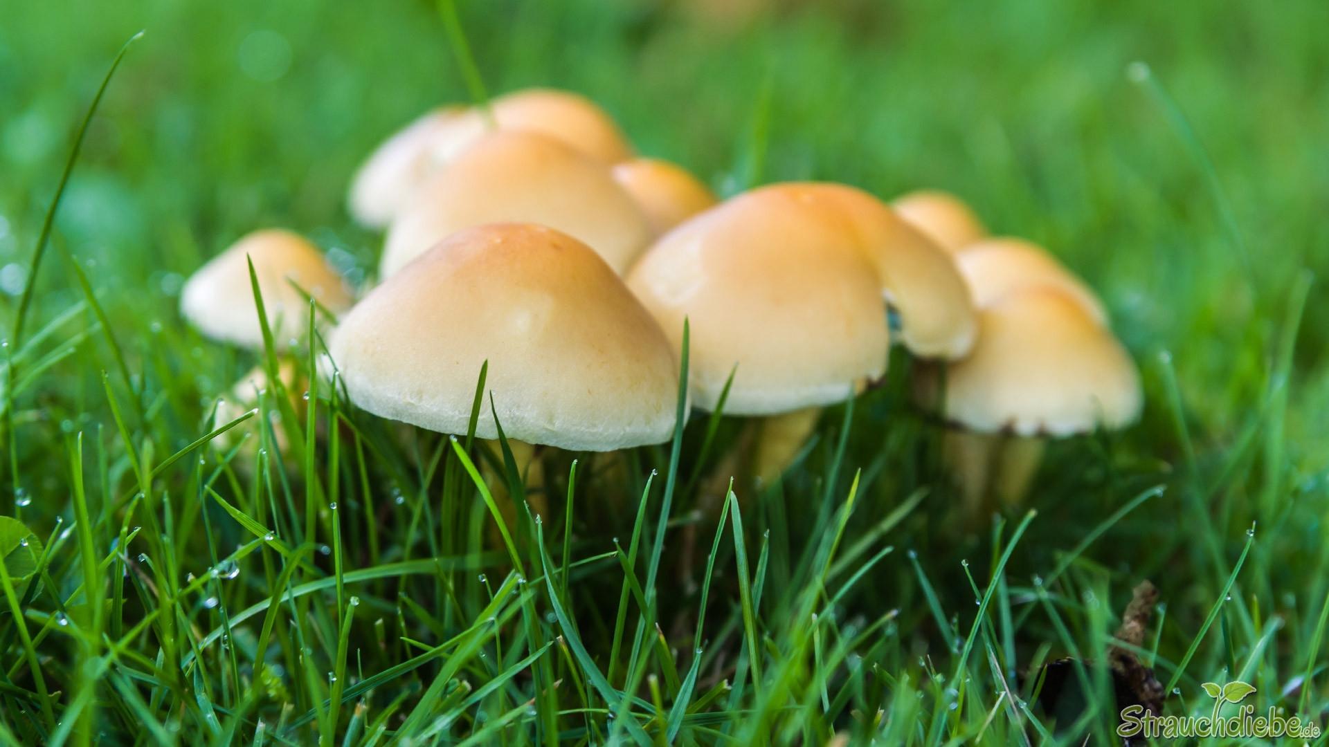 Gemeiner Glimmertintling (Coprinellus micaceus)
